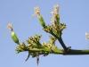 Capsulas de semillas